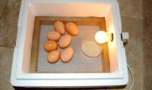 Как сделать домашний инкубатор своими руками