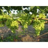 Сетка для винограда Ф-90/1/10 (1х10м, ячейка 90х100мм, цвет Зеленый) от Протэкт